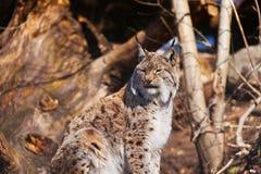 Lynx in parco Immagini Stock Libere da Diritti