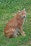Lynx pardinus. In a wild life park Royalty Free Stock Photography