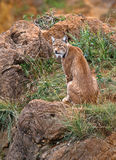 Lynx pardinus Stock Images