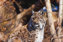 Lynx in park Royalty Free Stock Images