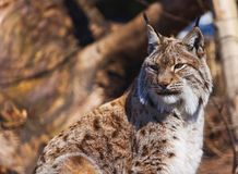 Lynx in park. Lynx - zoo in Innsbruck Austria - animal background Stock Images