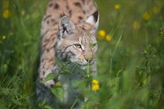 Lynx partant furtivement dans l'herbe Photographie stock libre de droits