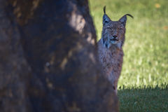 Lynx peeking out from behind sunlit rock Royalty Free Stock Photos