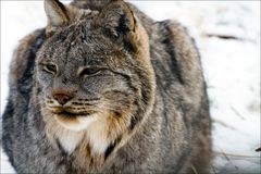 Lynx Close Up Isolated Royalty Free Stock Photo