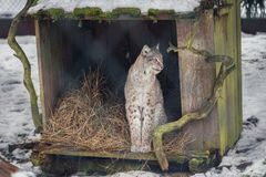 Lynx in Poland Stock Photography