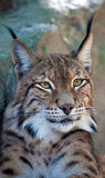 Lynx portrait. Head shot of a beautiful male Lynx royalty free stock photography