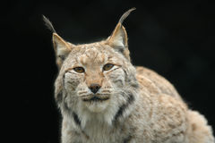 Lynx portrait Stock Images