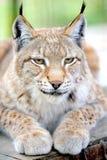 Lynx portrait royalty free stock photography