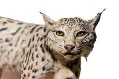 Lynx portrait Royalty Free Stock Image