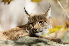 Lynx Portrait during the autumn Royalty Free Stock Photography