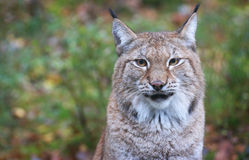 Lynx. A portrait of a beautiful male lynx Royalty Free Stock Photo