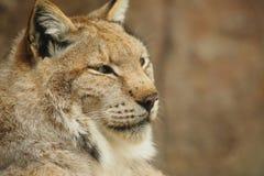 Lynx Stock Photos