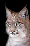 Lynx portrait on black. Head shot of a lynx on black background close up Royalty Free Stock Photos