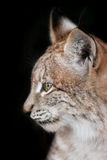 Lynx portrait on black. Head shot of a lynx on black background close up Royalty Free Stock Photography