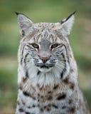 Lynx portrait. Lynx closeup portrait against green background Royalty Free Stock Photo