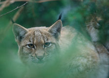 Lynx portrait. Lynx hidden on a tree Royalty Free Stock Photo