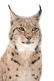 Lynx. Portrait isolated on white background Stock Photos