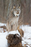 Lynx portrait on log. In wintertime Royalty Free Stock Photo