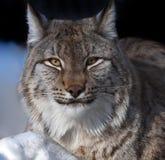 Lynx. Portrait of lynx lying on snow Royalty Free Stock Photos