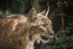 Lynx portrait. In morning sunlight Stock Image