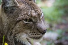 Lynx portrait. In morning sunlight Royalty Free Stock Image