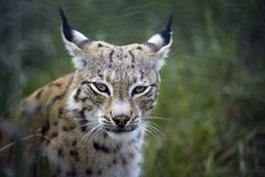Lynx. Portrait in nature. Ears back Stock Photo