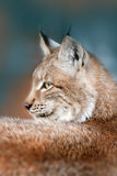 Lynx portrait outdoor. Siberian lynx head shot portrait outdoor Royalty Free Stock Photos