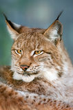 Lynx portrait outdoor Royalty Free Stock Image