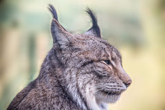A lynx. A portrait of a lynx outsides Royalty Free Stock Image