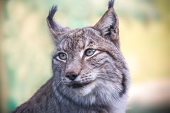 A lynx Royalty Free Stock Photos
