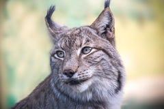 A lynx. A portrait of a lynx outsides Royalty Free Stock Photos
