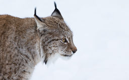 Lynx portrait Stock Photography