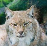 Lynx portrait Stock Photo