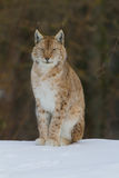 Lynx Portrait. On the snow Royalty Free Stock Photo