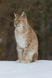Lynx portrait Stock Image