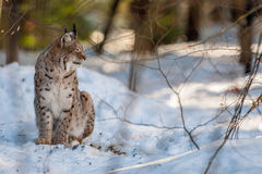 Lynx portrait on the snow background Royalty Free Stock Photography