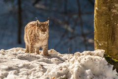 Lynx portrait on the snow background Stock Images