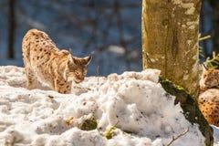 Lynx portrait on the snow background Stock Image