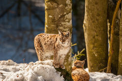 Lynx portrait on the snow background Royalty Free Stock Images