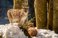 Lynx portrait on the snow background Stock Photography