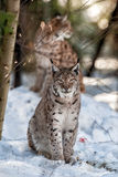 Lynx portrait on the snow background Royalty Free Stock Image