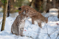 Lynx portrait on the snow background Stock Photo