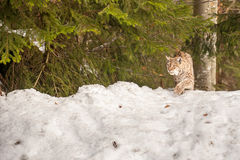 Lynx portrait on the snow background Royalty Free Stock Photos