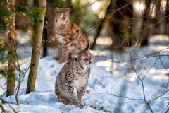 Lynx portrait on the snow background Stock Photo