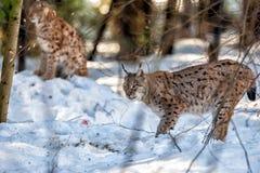 Lynx portrait on the snow background Stock Photos