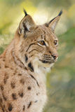 Lynx portrait. Lynx wildcat portrait seen from the side Royalty Free Stock Photos