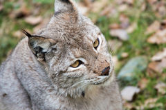 Lynx. Portrait of a lynx in a wildpark Royalty Free Stock Photos