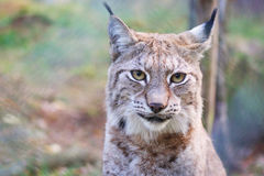 Lynx. A portrait of a young female lynx Royalty Free Stock Photo