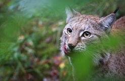 Lynx. A portrait of a young female lynx Stock Images