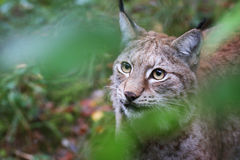 Lynx. A portrait of a young female lynx Royalty Free Stock Photos